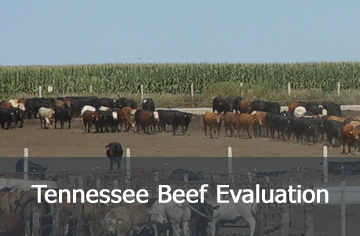Tennessee Beef Evaluation